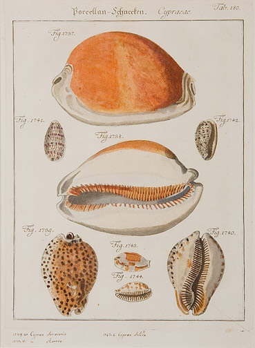 Cypraea by Anonymous (European Print)
